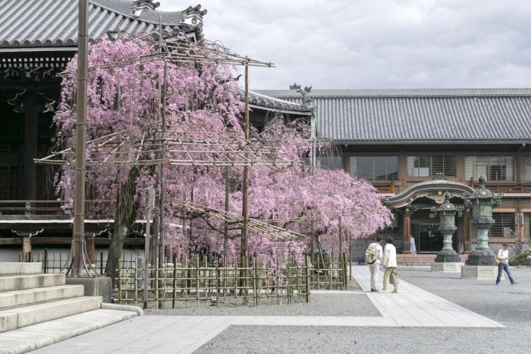 仏光寺桜.jpg